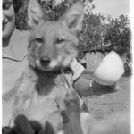 fox_fire_farms_evelyn_coyote