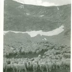 fox_fire_farms_sheep_high_country